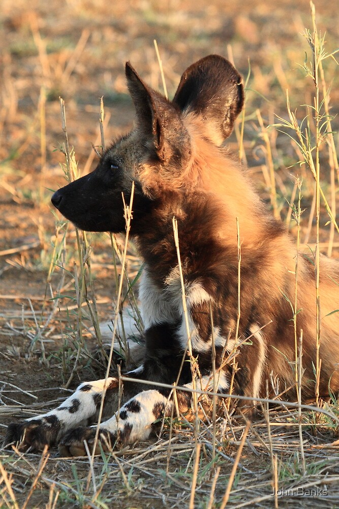 Wild Dog Pup in the early light by John Banks