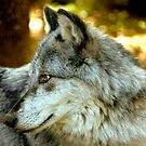Gray Wolf - Portrait of Cody  by Karen Peron