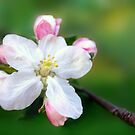 Cherry Blossoms by bkphoto