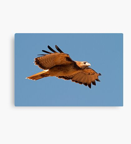 091810 Red Tailed Hawk Canvas Print