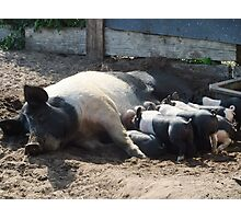 Sow and piglets Photographic Print