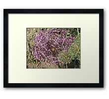 Alium at its best, East Yorkshire Framed Print