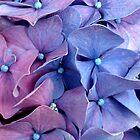 HYDRANGEA CLOSEUP by Joan Harrison