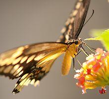 Butterfly by Mark Wuttke