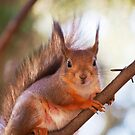 Squirrel in the tree by Arve Bettum