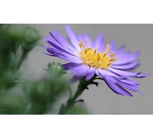 ---Ballad - Fall Aster Photographic Print