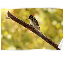 Morning Inspection ~ Hairy Woodpecker  Poster