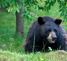 Black Bear on Alert by Karen Peron