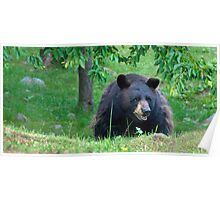 Black Bear on Alert Poster