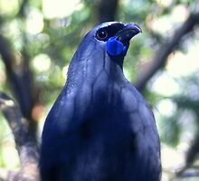 North Island kokako by Brenda Anderson