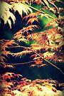 Japanese Maple  by Joshua Greiner