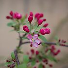 early crabapple by Brenda Anderson