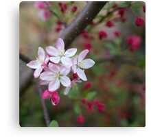 crabapple blossoms Canvas Print
