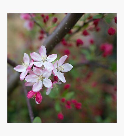 crabapple blossoms Photographic Print