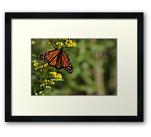 Monarch Butterfly on Goldenrod, As Is Framed Print
