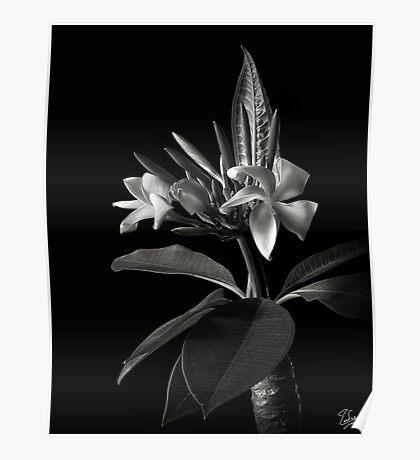 Plumeria in Black and White Poster