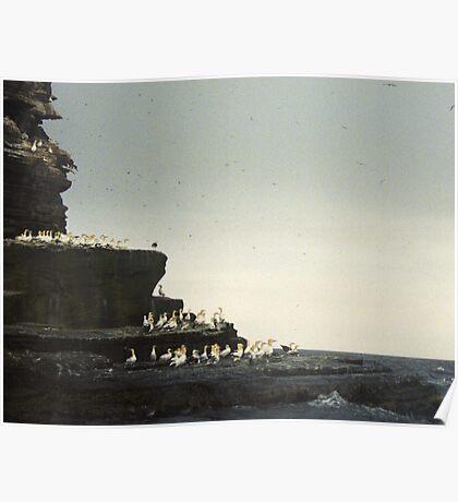 Gannet Colony on Noss,  Shetland Islands  Poster