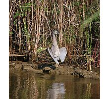 Juvinile Yellow Crowned Night Heron Photographic Print