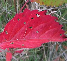 Red Leaf by kodakcameragirl