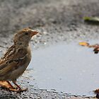 Female House Sparrow by Dave & Trena Puckett