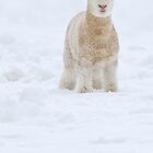 Fleece as White as Snow by Kimball Chen