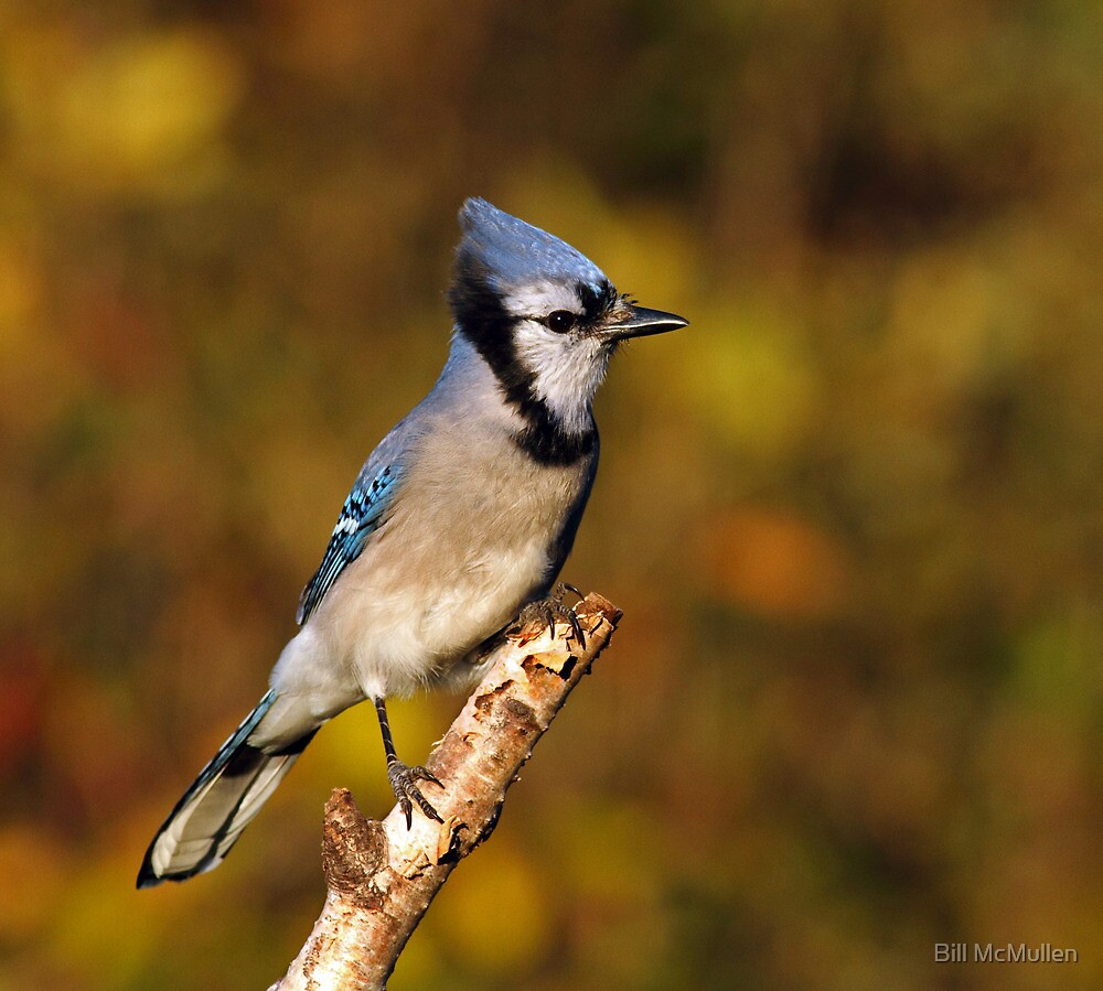 Classic Pose - Blue Jay by Bill McMullen
