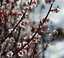 Backlit Blossom by Catherine Davis