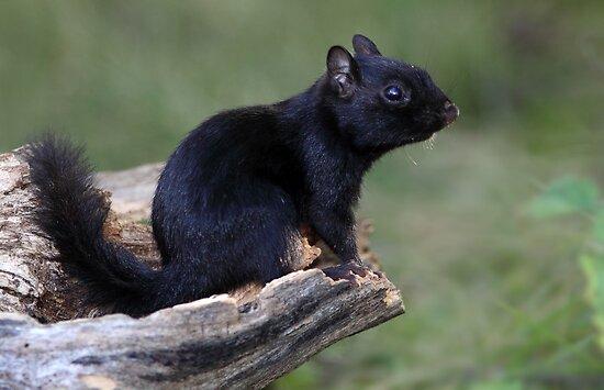 Black Chipmunk