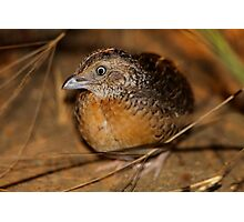 Red-chested Button-quail  Photographic Print