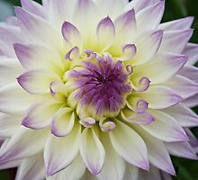 Purple and White - Dahlia by Terrie Taylor