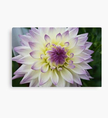 Purple and White - Dahlia Canvas Print
