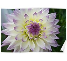 Purple and White - Dahlia Poster