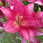 Rose colored lilly in Vermont by Peggy Burch
