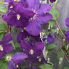 Pretty purple violets in vermont by Peggy Burch