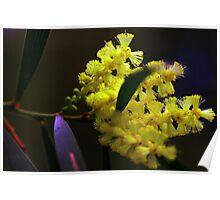 Acacia floribunda Poster
