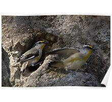 Ma & Pa Pardalote Elope Poster
