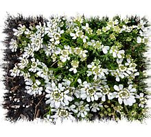 Candytuft - a small flower  Photographic Print
