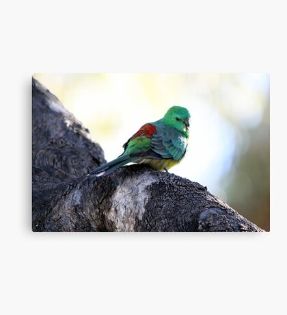Red-rumped Parrot Canvas Print
