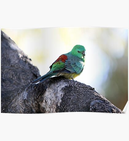 Red-rumped Parrot Poster