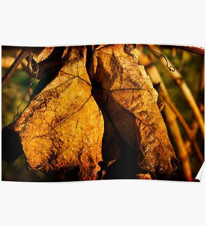 Grape Vine Leaf - Bellarine Peninsula Poster