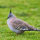 Crested Pigeon by Frank Yuwono