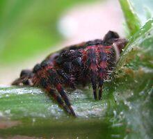 Red & Black Garden Spider by Vanessa Barklay