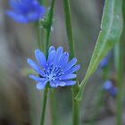 Chicory by deb cole