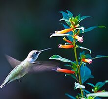 Hummer Approaching the Flower by imagetj