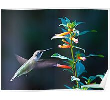 Hummer Approaching the Flower Poster