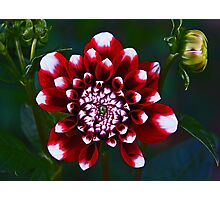 Tiger Red Dahlia Photographic Print