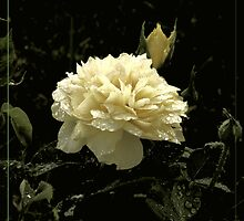Burst - yellow rose by Limajo