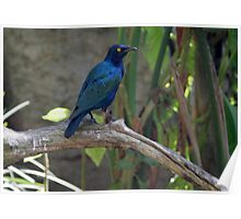 Glossy Starlings Poster