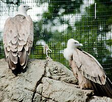Griffon Vulture  by Kate Krutzner