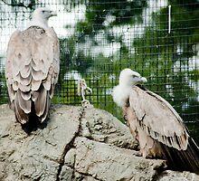 Griffon Vulture  by Kate Krutzner